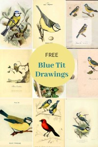 Vintage blue tit prints
