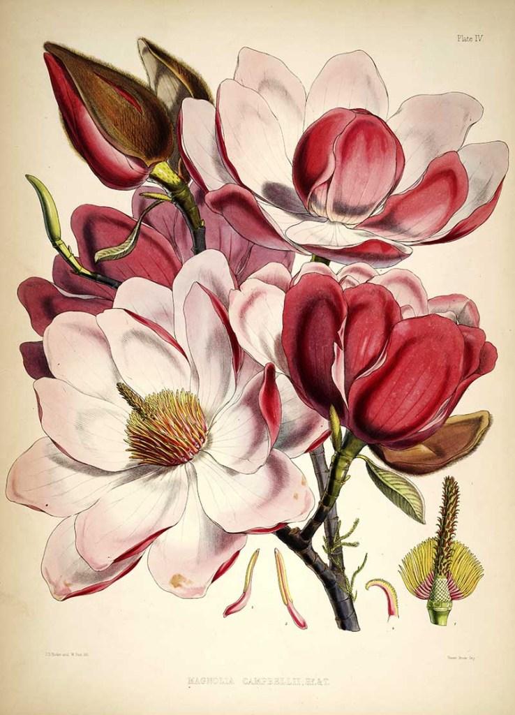 Magnolia_campbellii