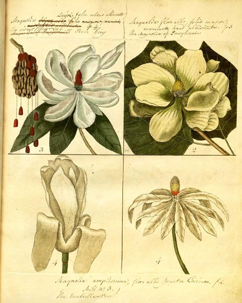 Four vintage magnolia drawings