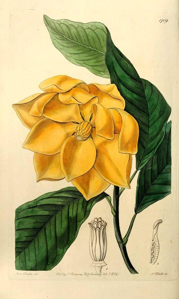 Egg magnolia botanical illustration