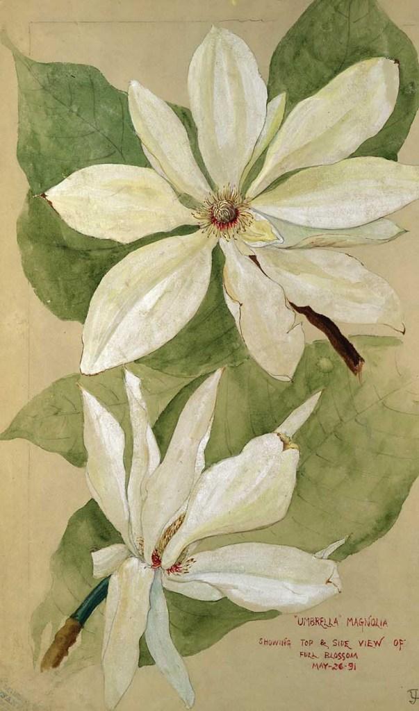 umbrella magnolia painting