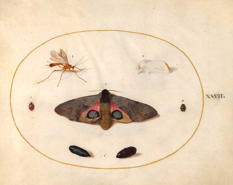 plate 27 large moth
