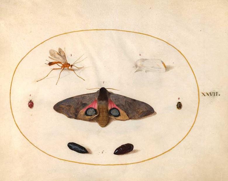 plate 27 large moth