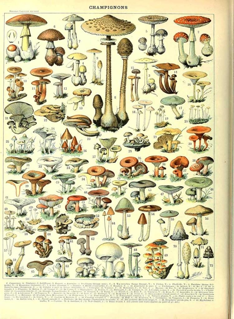 Champignon B Adolphe Millot Botanical poster