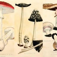 The Fungi And Mushroom Drawings Of James Sowerby