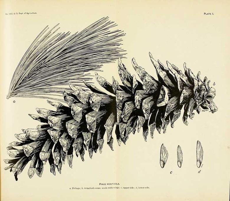 Pinus Monticola pine cone drawings