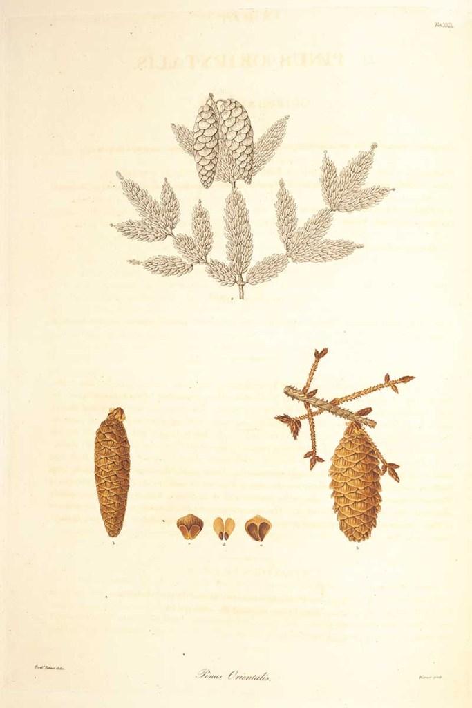 Oriental Pine