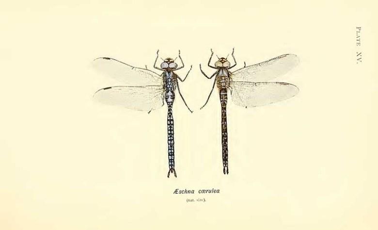 Azure Hawker dragonfly