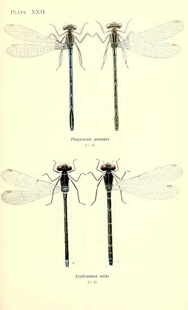 Damselfly illustrations