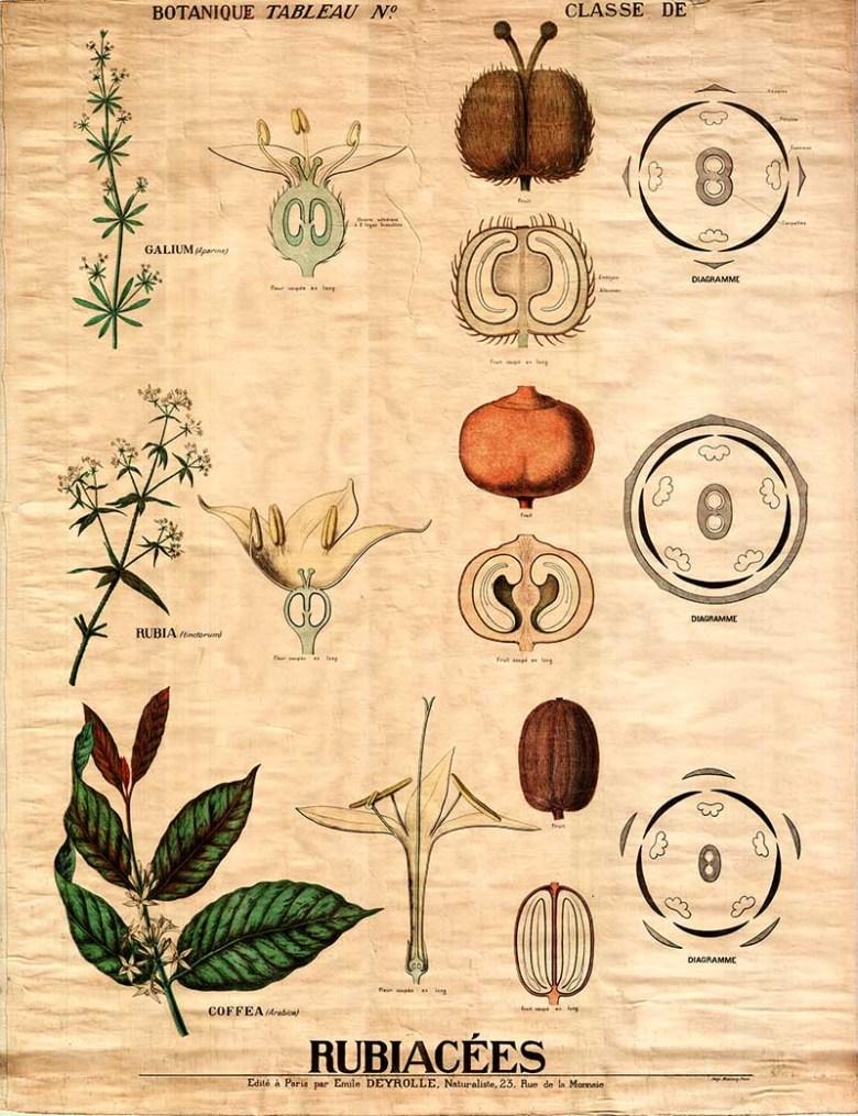 coffee plant anatomy