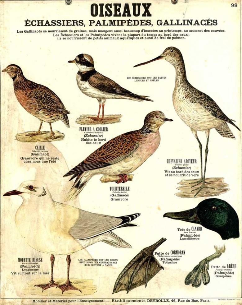 Oiseaux_Deyrolle Poster