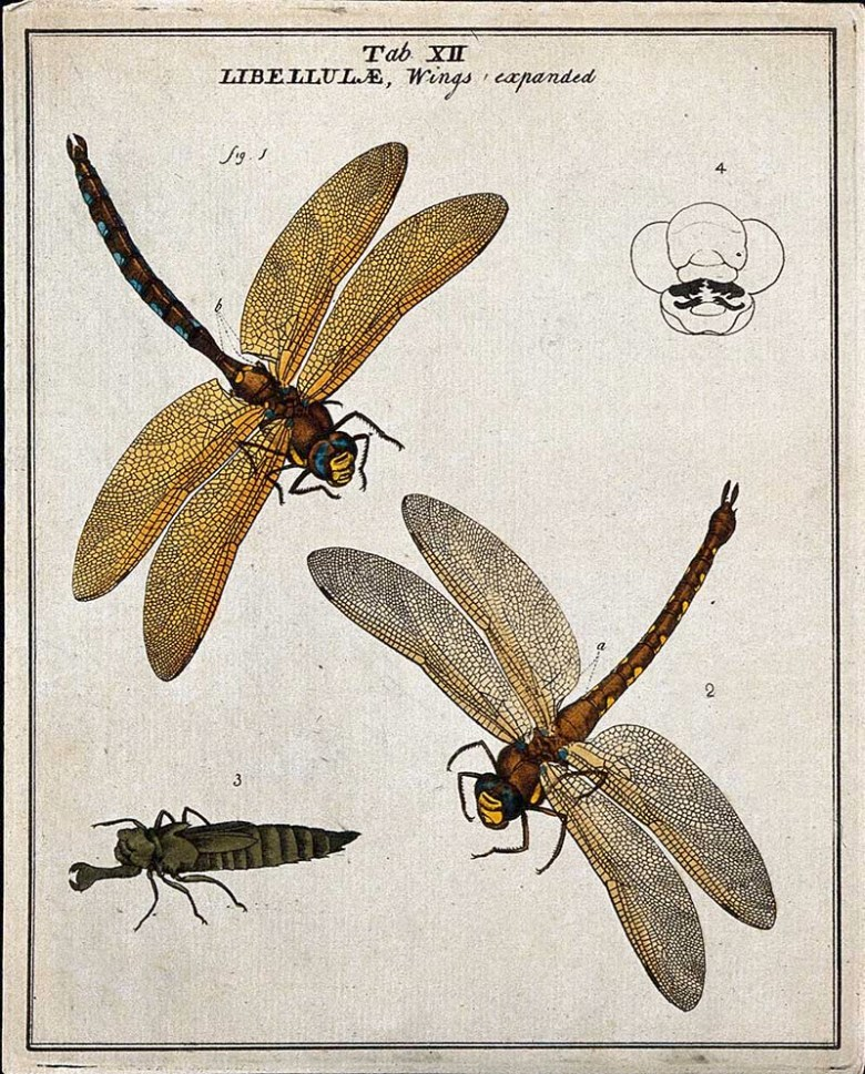 Two dragonfly drawings Moses Harris
