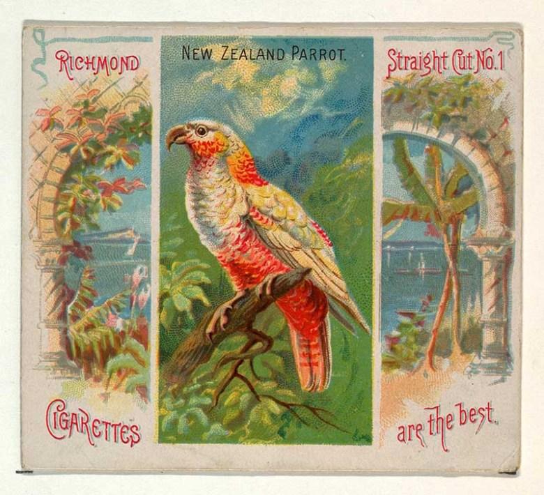 Tropical bird illustration New Zealand Parrot