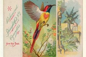 free tropical bird cigarette card illustrations
