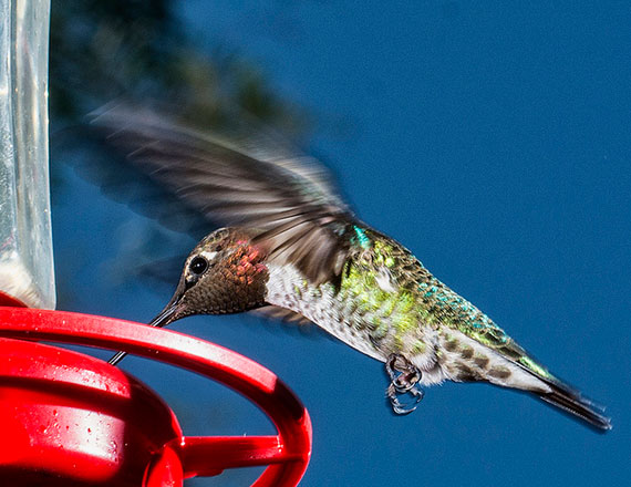 how to take good hummingbird pictures