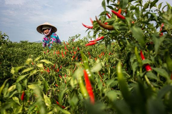 Harvesting chilly in Vietnam