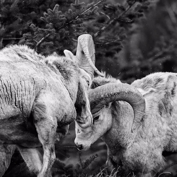bighorn-sheep-fighting