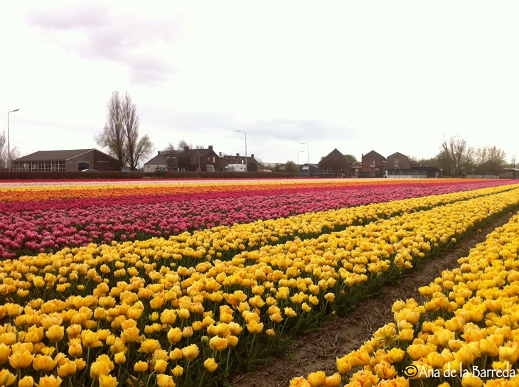 World Largest Flower Garden - Netherlands (11)