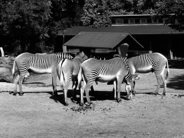 Zebras at zoo © picturetom