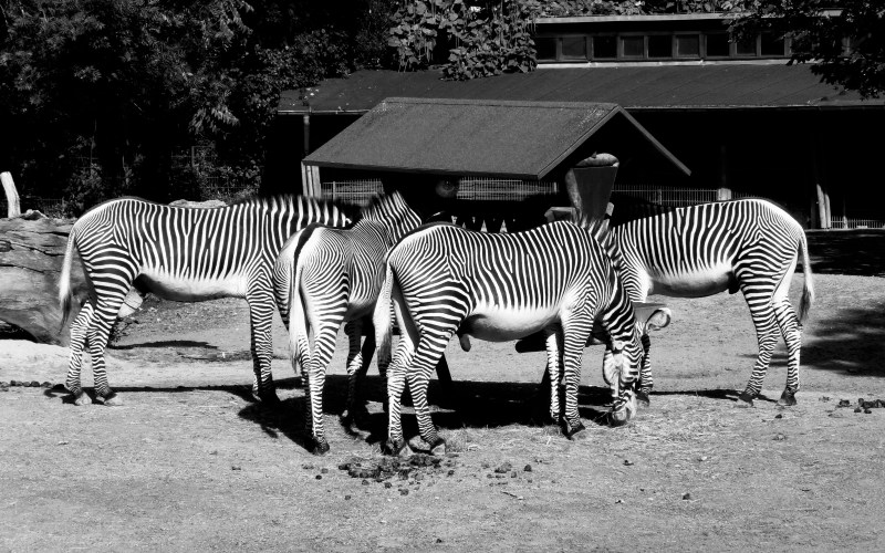 Zebras at zoo