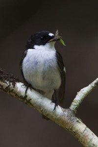 Pied Flycatcher - Neil Bygrave