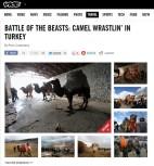Battle of the beasts: camel wrestling in Turkey