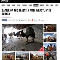 Camel wrestling in Turkey