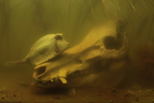 Boar with Cowfish, 2012, High quality inkjet print, 12 5/8 x 19 inches
