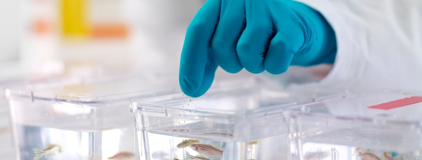 Zebrafish being fed in tanks at Novartis