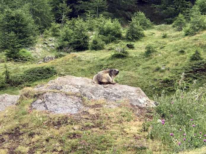 escursioni in val di rhemes marmotta