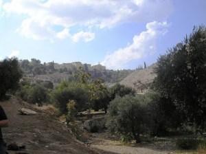 Gehenna olive trees