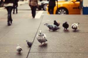 pigeon toxicity