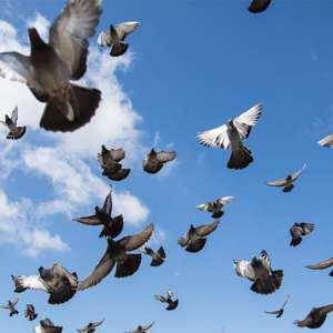large pigeon flock flying