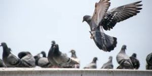pigeon flock perching on roof