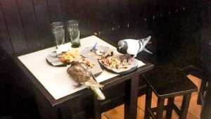 Brazen Pigeons feed off a table eating leftovers