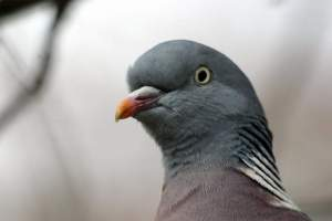 close up of a wild pigeon