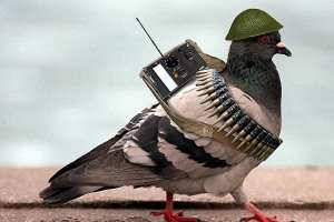 Military pigeon