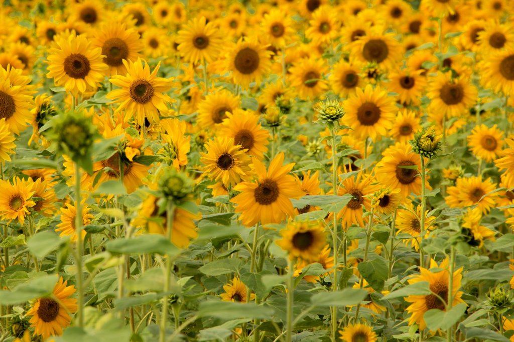 Auringonkukkapelto