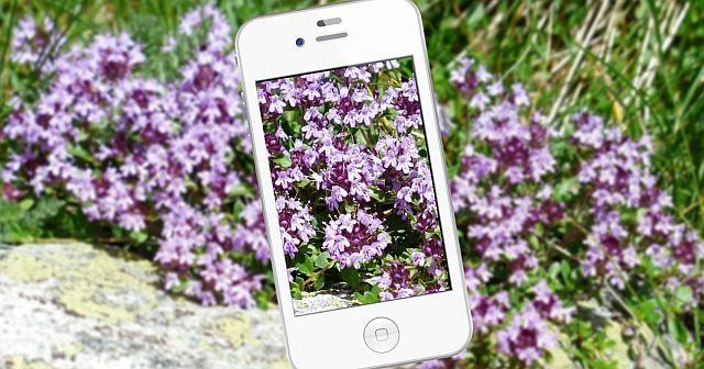 Puutarhan kasvien tunnistaminen – maksuttomat sovellukset testissä