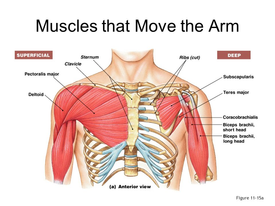 Rib Cage Muscles Diagram