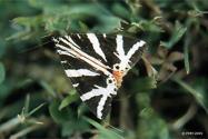 Papillonnuit