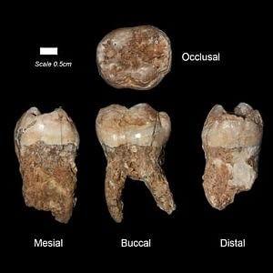 Die fossilen Zähne in Israel gefunden, contenenti le più antiche tracce di inquinamento finora rinvenute