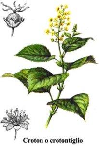 Die Crotonöl oft wurde in der Vergangenheit als Abführmittel verwendet psychische Erkrankungen zu behandeln