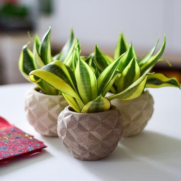ong planters sansevieria