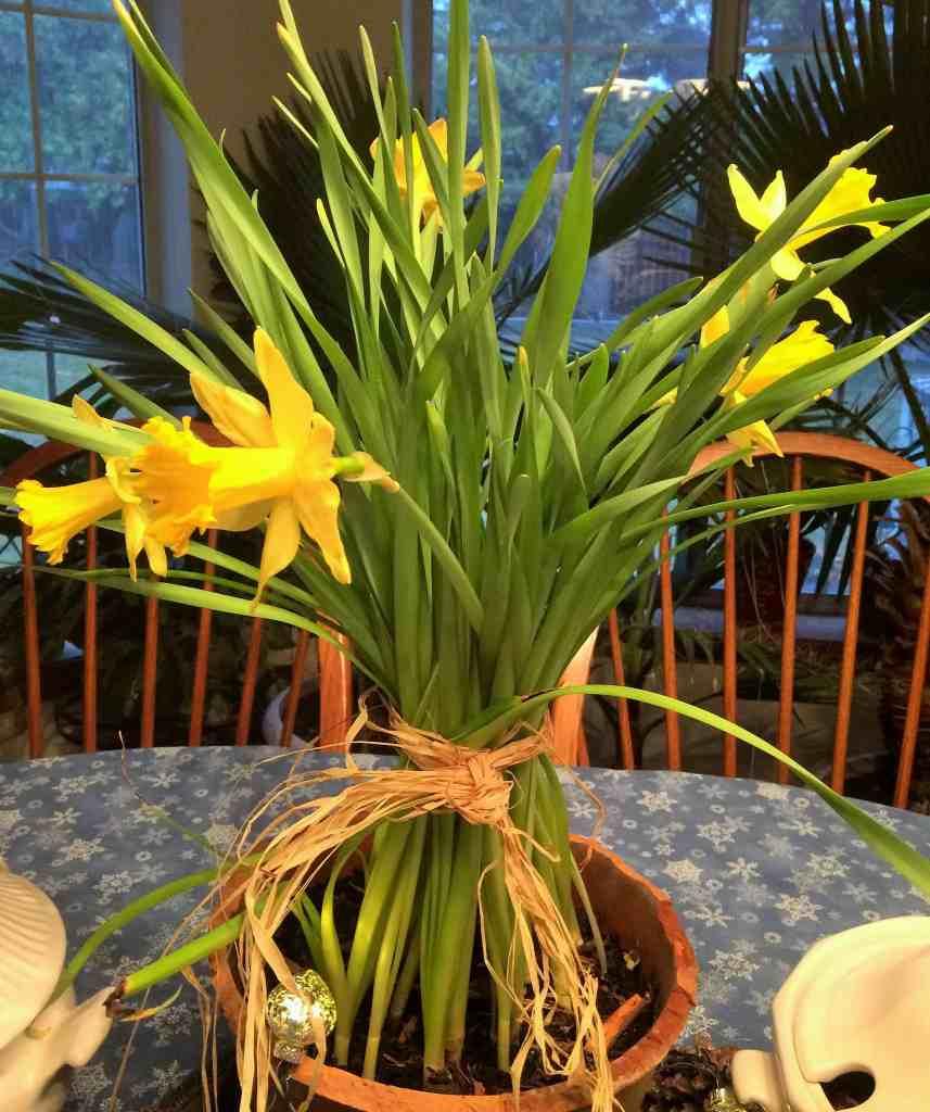 Forced Daffodils