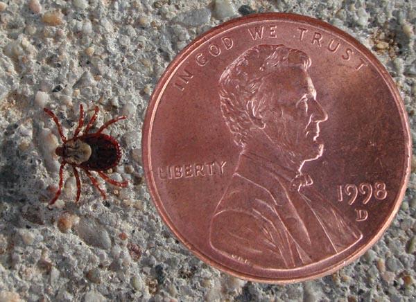 Image result for ticks images