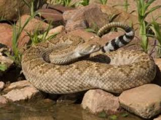 Rattlesnake3