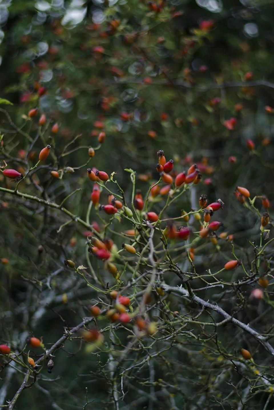Dzika roza fotografia krzewow
