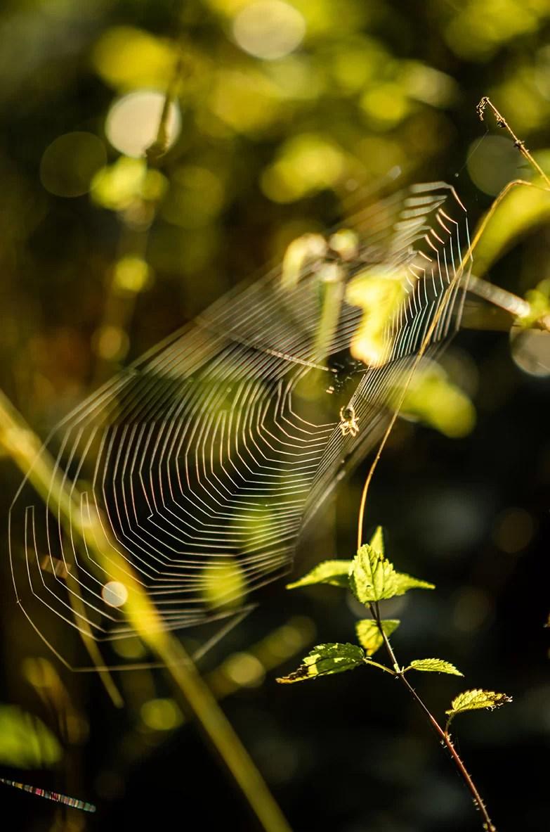 Leśnę wędrówki pajęczyna