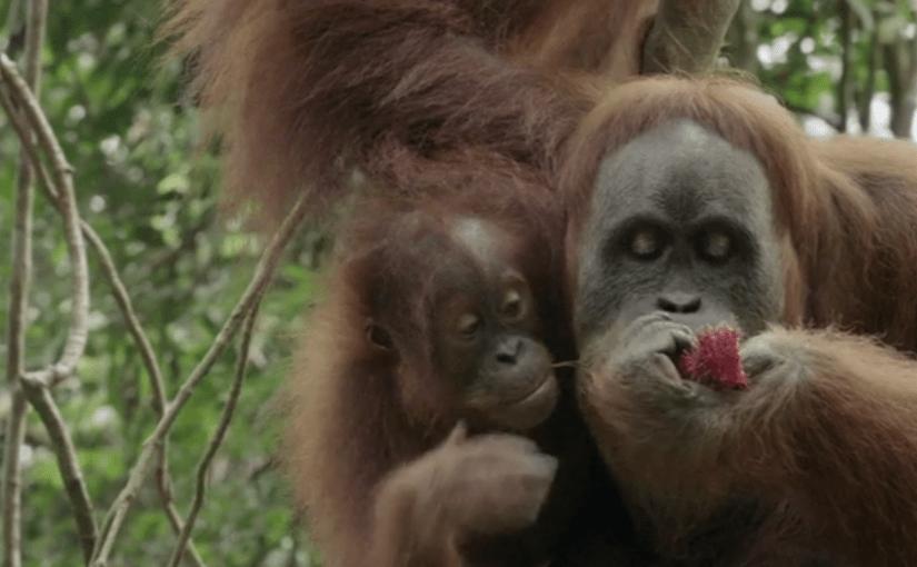 <em> Orangutans!!! </em>